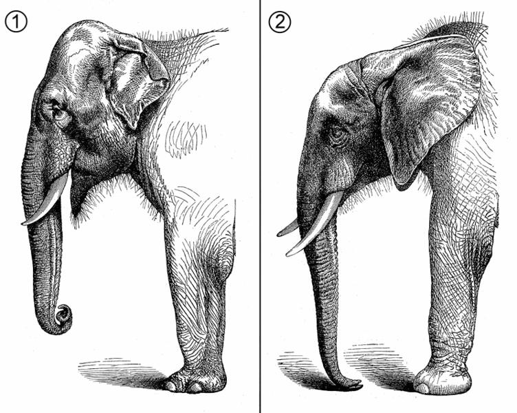 Anatomie comparative de la partie antérieure de l'éléphant d'Asie (Elephas maximus, 1) et de l'éléphant d'Afrique (Loxodonta africana, 2).