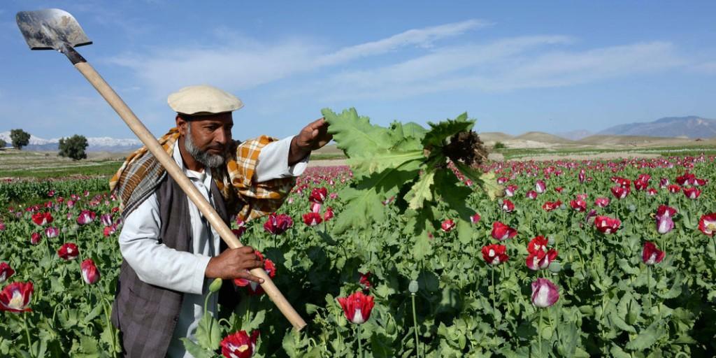 Un champ de pavot à opium en Afghanistan en avril 2014