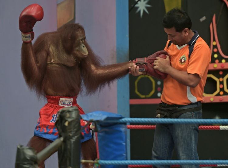 Un employé de zoo et un orang-outan dans les environs de Bangkok, le 9 juillet 2015