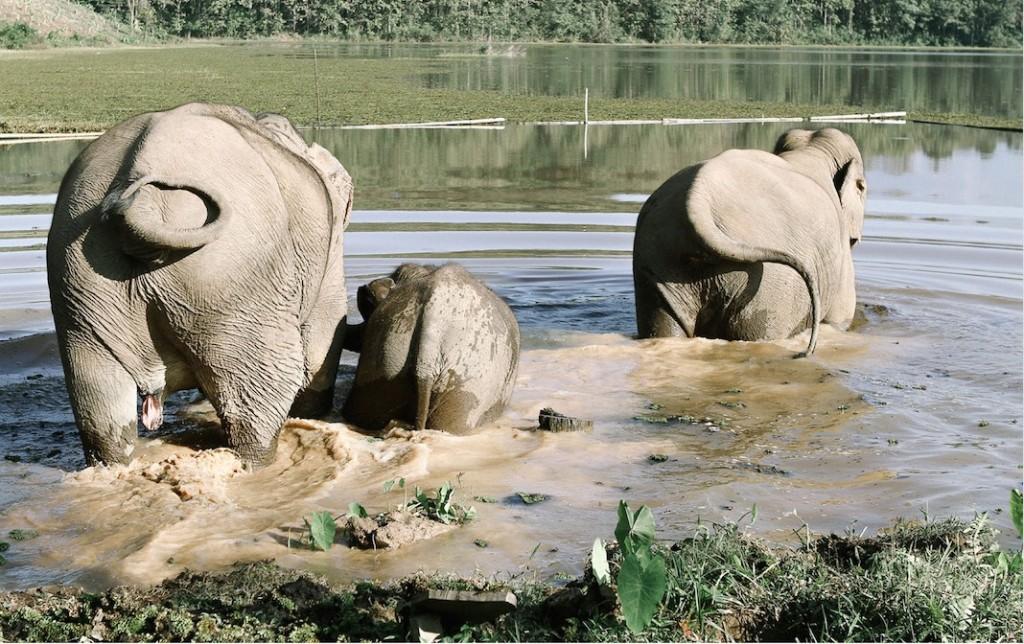 Eléphants au Laos