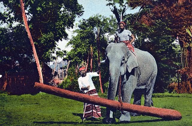 Éléphant de Ceylan