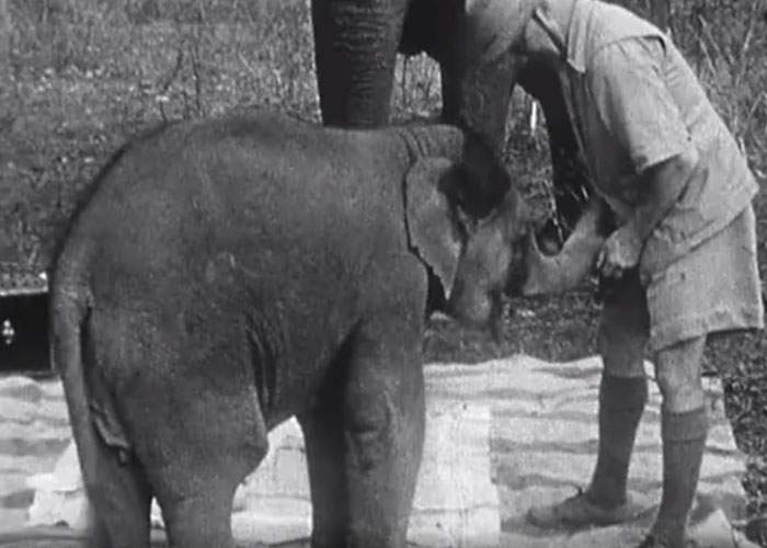 Un éléphanteau jouant avec fonctionnaire britannique en Inde.