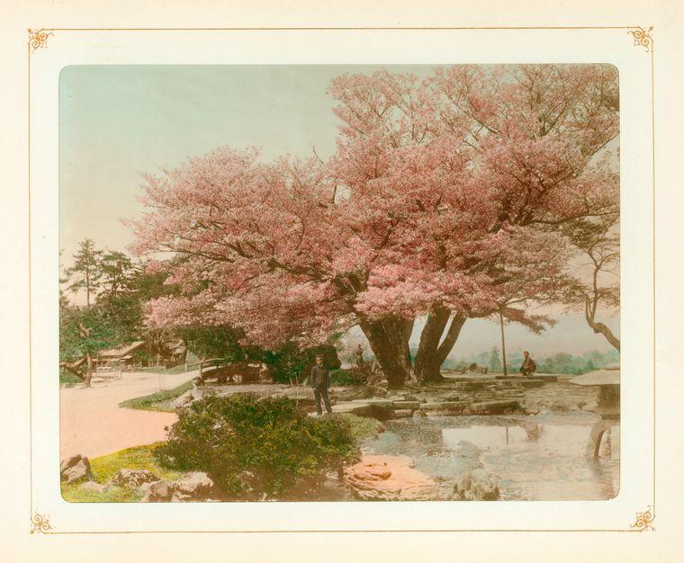 Cerisiers en fleurs à Kanazawa.